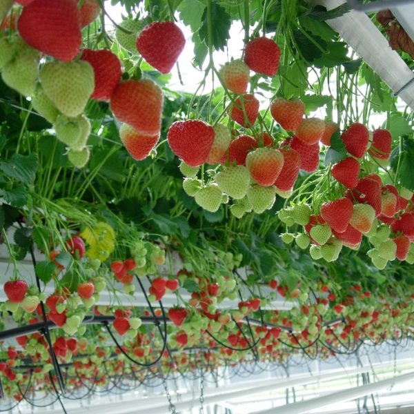 strawberries in greenhouse
