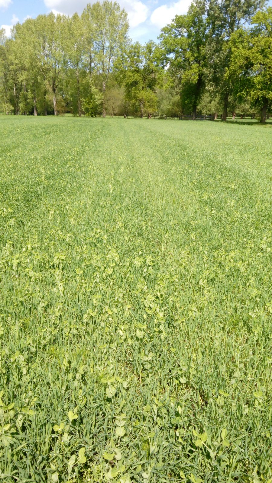mixed culture of pea and malting barley