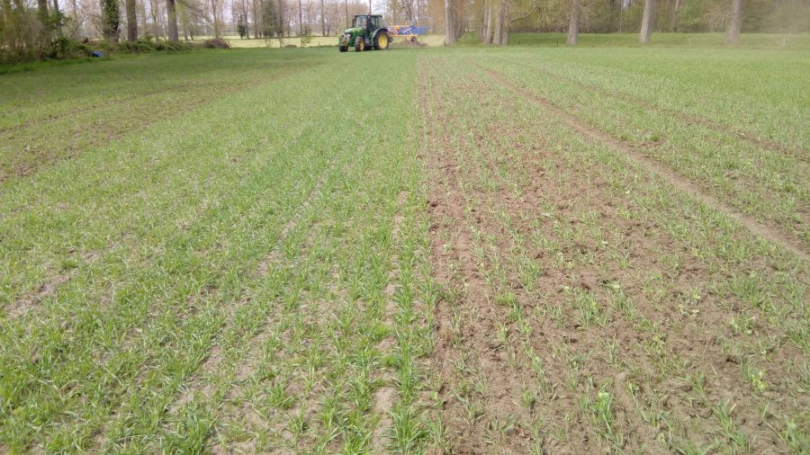 Field with a weeded row and a non-weeded row of mixed pea and barley
