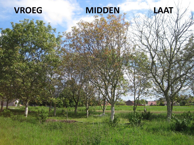 Vroeg, midden en laat uitlopende notenbomen