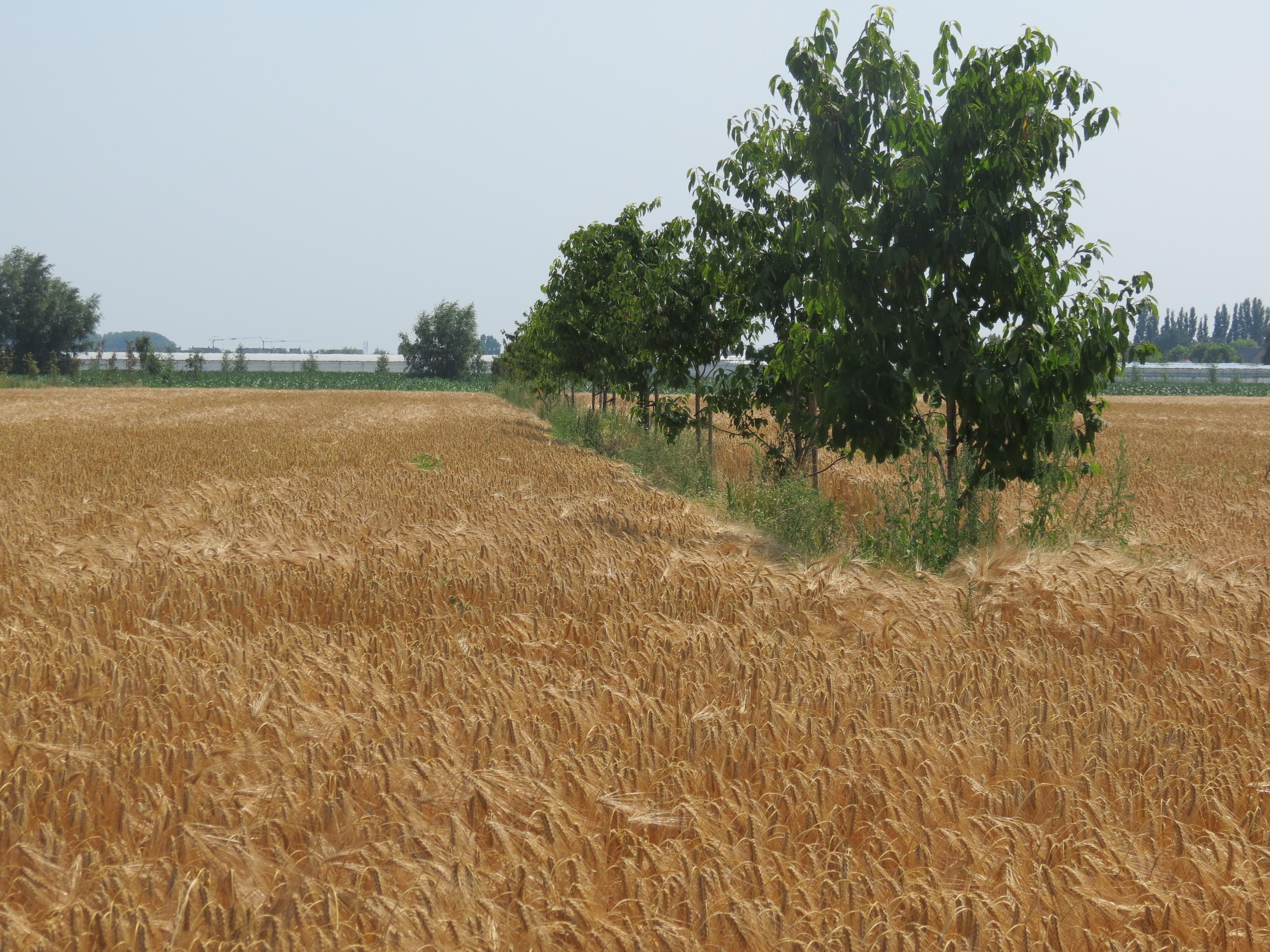 Alley cropping (bomenrijen afgewisseld met brede stroken gewas) is een moderne vorm van agroforestry.