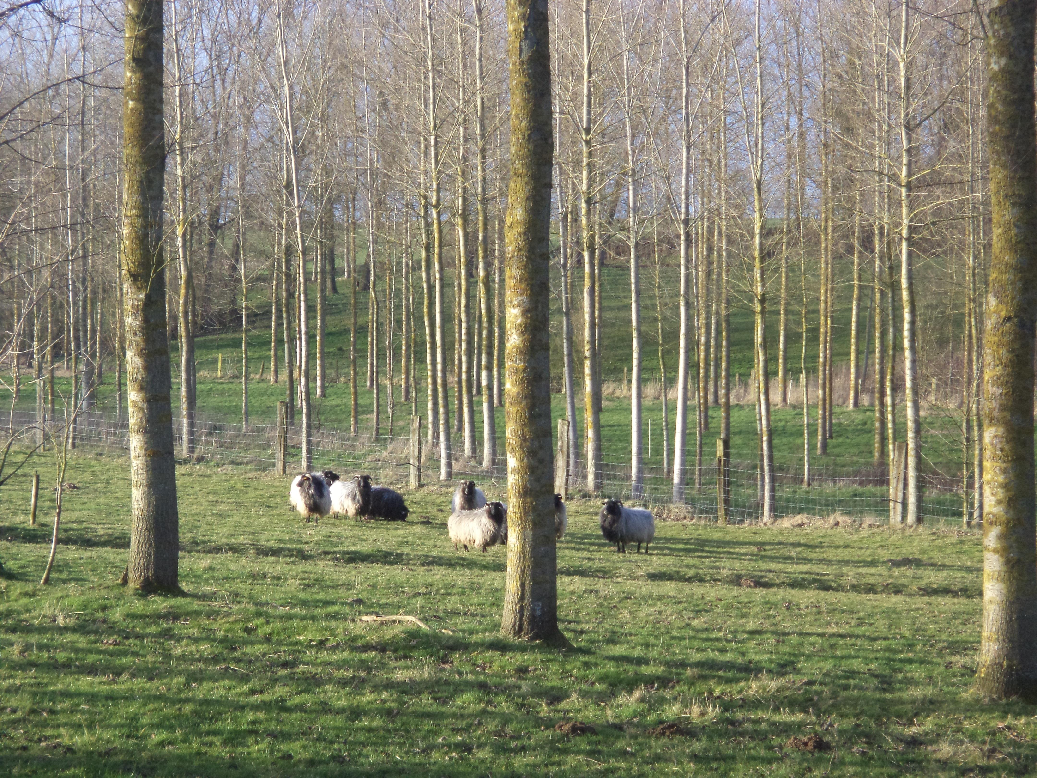 Traditionele landschappen zijn vaak ook een vorm van agroforestry: populierenweides zoals op deze foto, maar ook fruitboomgaarden, houtkanten, knotwilgenrijen, ...