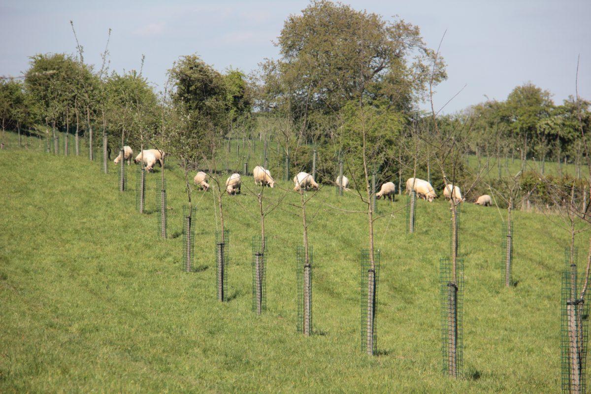 Agroforestry met dieren