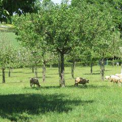 Schapen schaduw en bomen