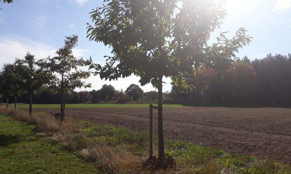 bomenrij naast akker