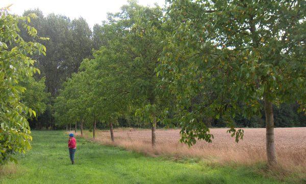 walnut tree row