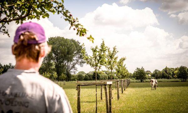 bomenrij melkvee landbouwer
