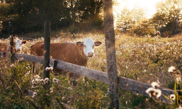 Bio-landbouw koeien