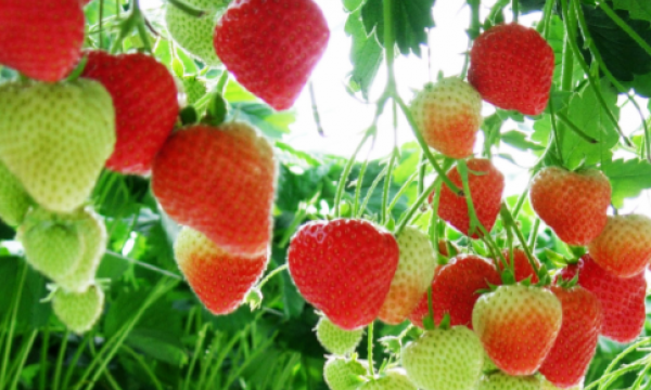 Red strawberries hanging down