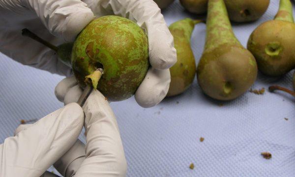 pathogen-free Belgian pear