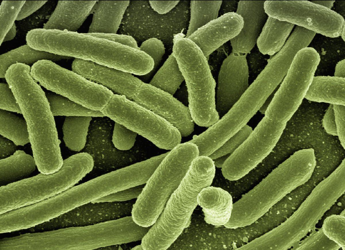 microscope image of rod-shaped bacteria