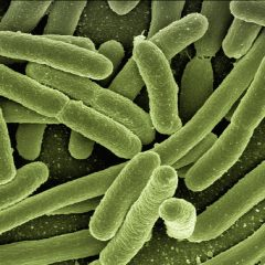 microscope image of rod-shaped bacteria