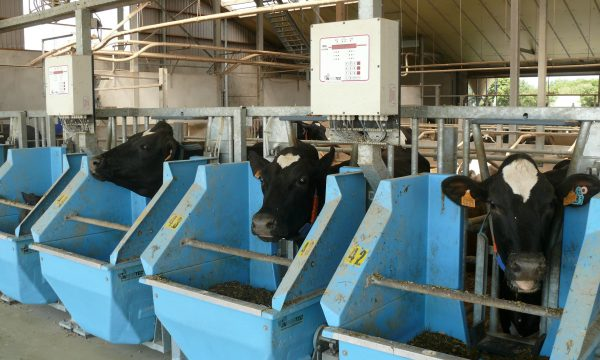 cows eating roughage from blue feed bins