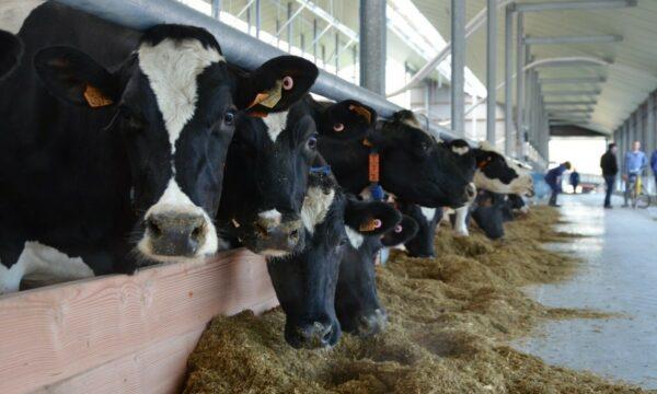 Koeien in een stal met voeder