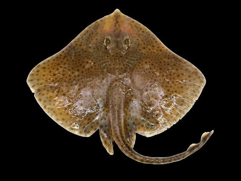 Blonde rog (Raja brachyura). De rug is lichtbruin, met veel zwarte vlekjes. Hij heeft stekels op de rug