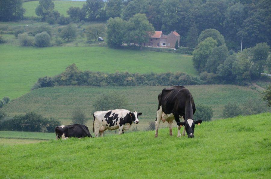 Drie grazende koeien in een heuvellandschap