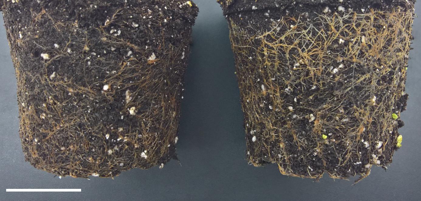 Links de wortels van de controle plant. Rechts de wortels van de gewijzigde plant, er is duidelijk meer wortelmassa te zien.