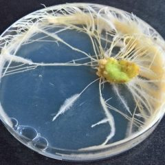 hairy roots in a petri dish