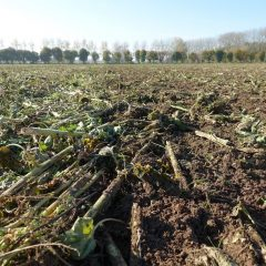 Field with flattened cover crop