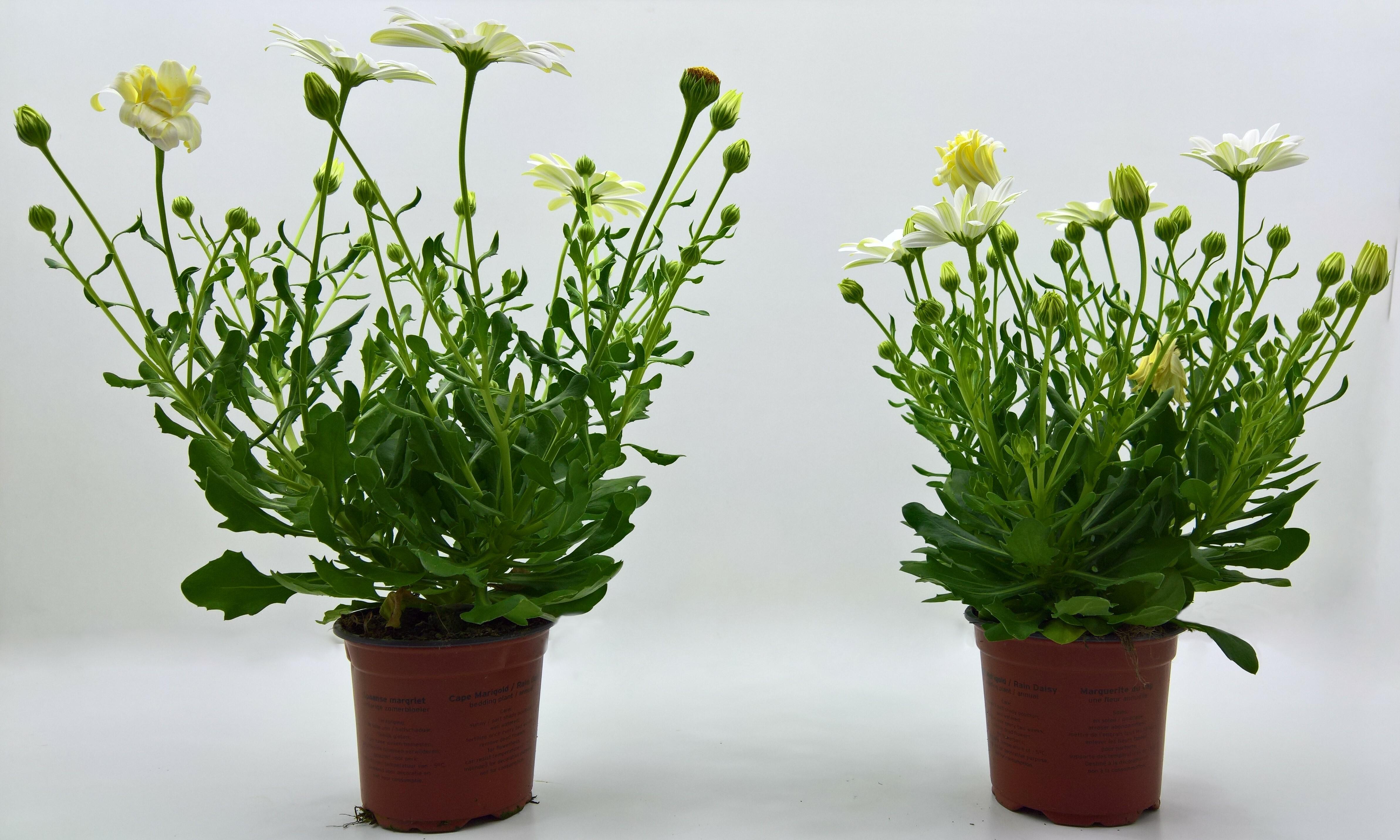 Osteospermum plants