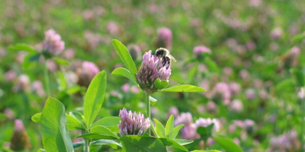 A bee on red clover
