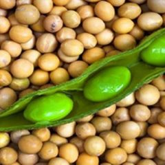 soy beans fresh and ripe