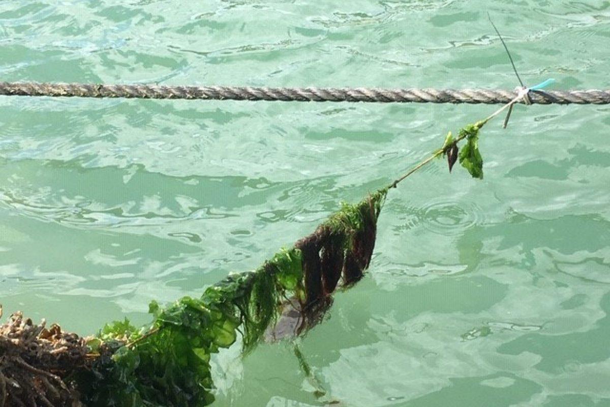 seaweed on rope