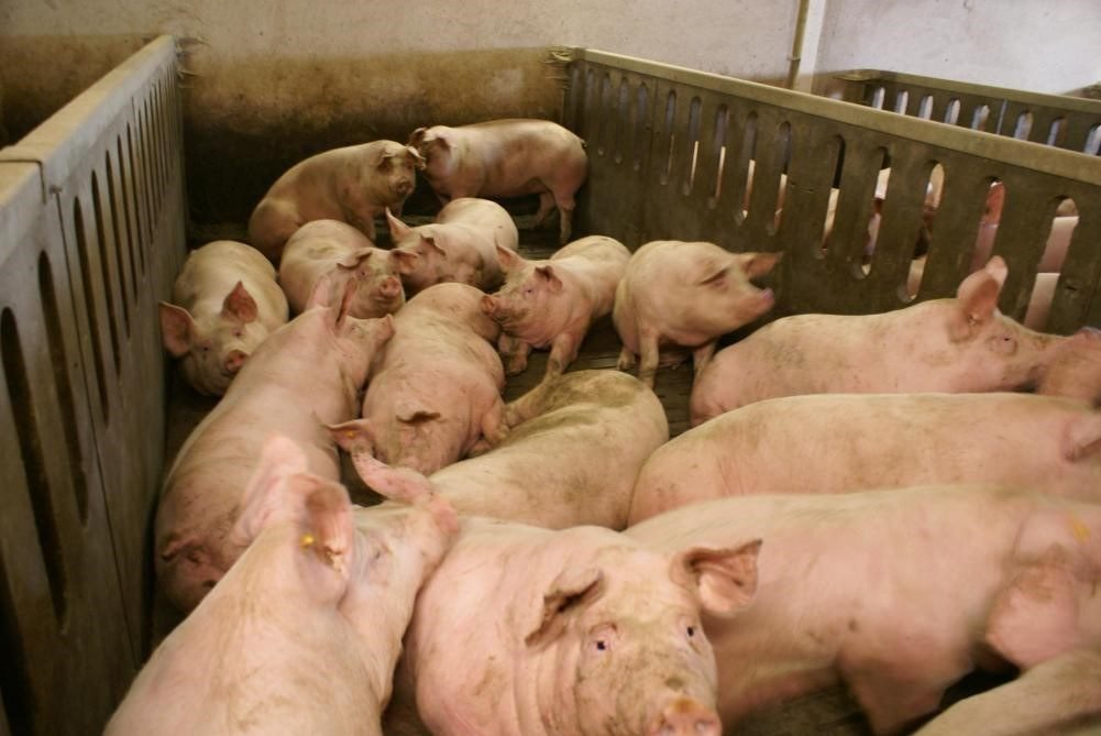 A group of fattening pigs close together in a stable