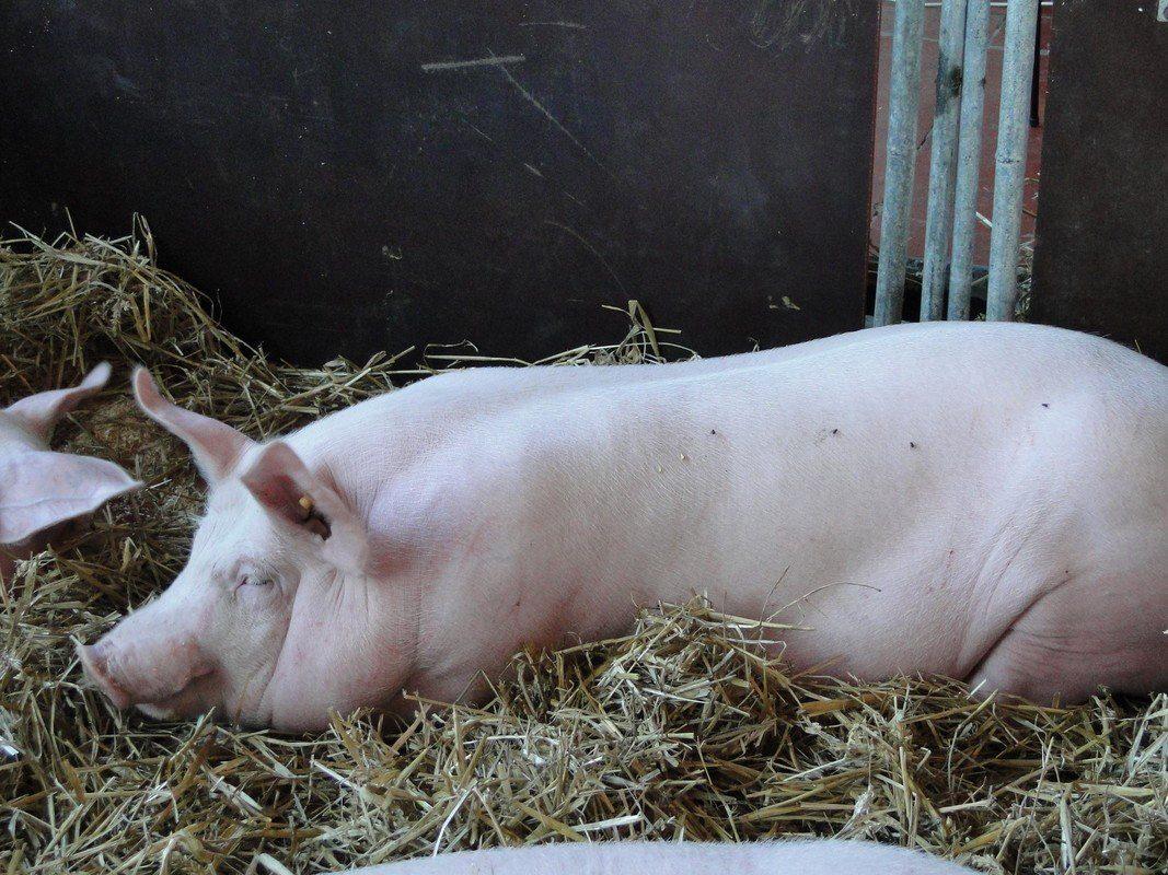 Varken slaapt op een bedje van stro