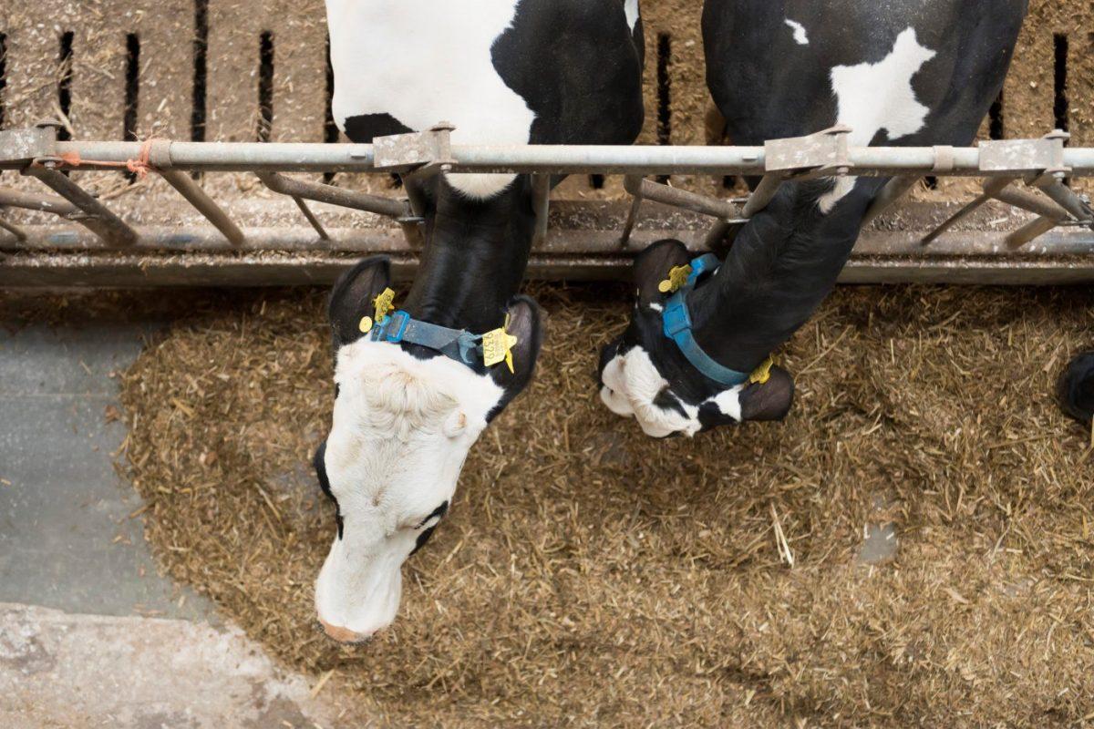 Twee koeien eten veevoeder