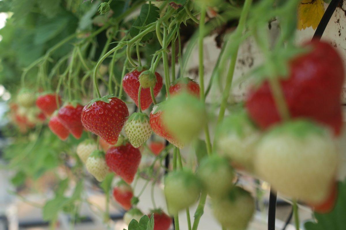 strawberries PCH