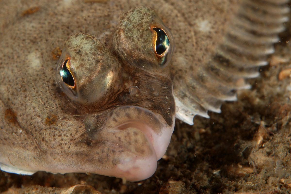 Close-up van de kop van een pladijs, genomen tijdens het duiken
