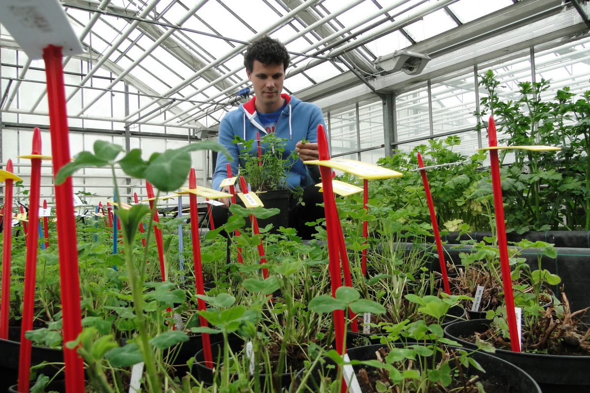 Tall male researcher standing in a greenhouse among potted plants with red sticks in each pot