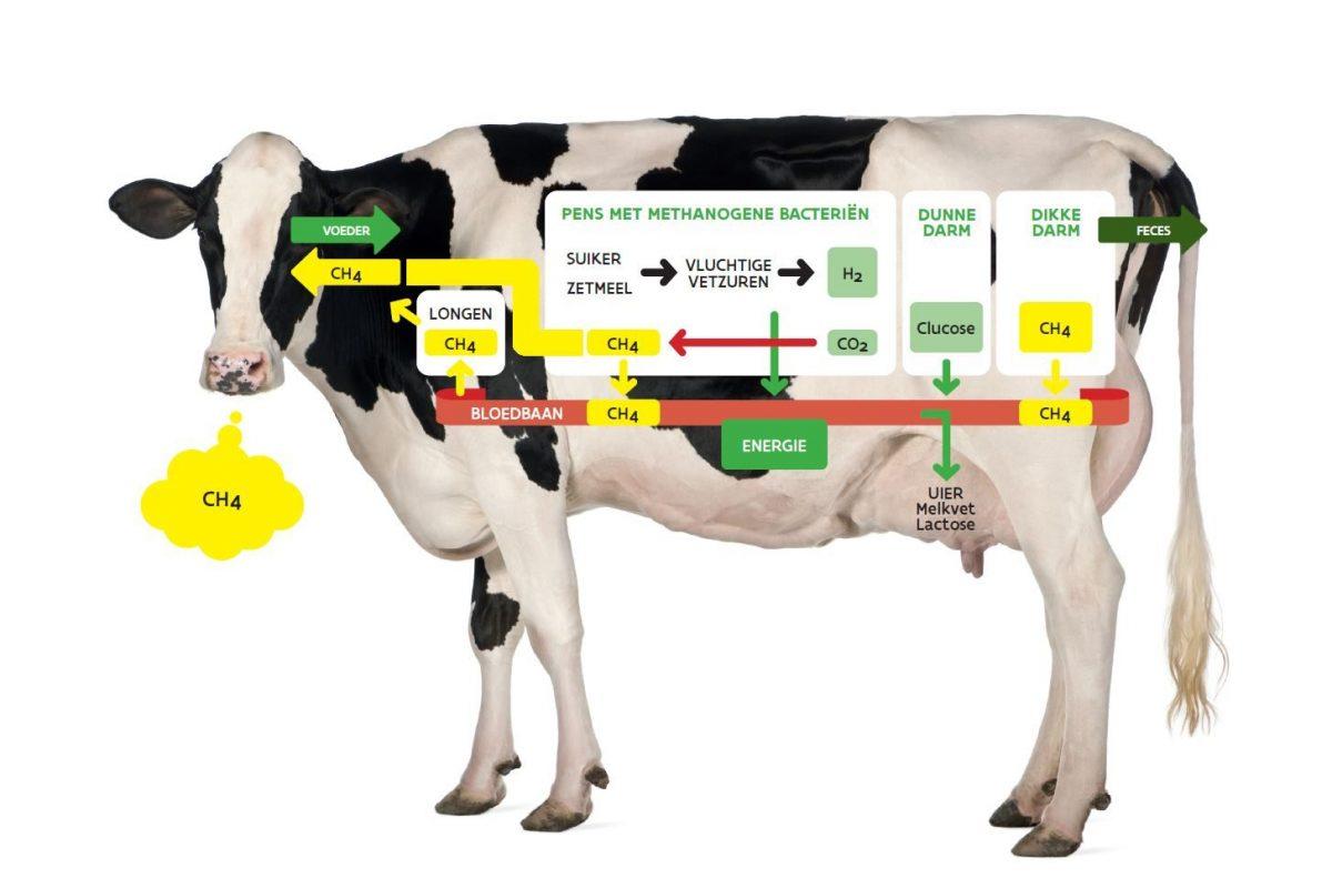 Schematisch overzicht van de methaanproductie en -uitstoot van de koe