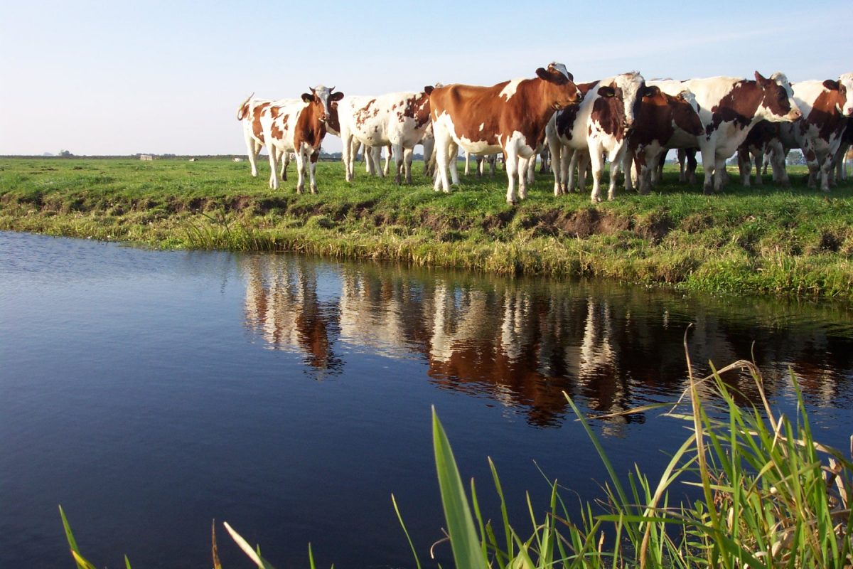 Cows next to a stream