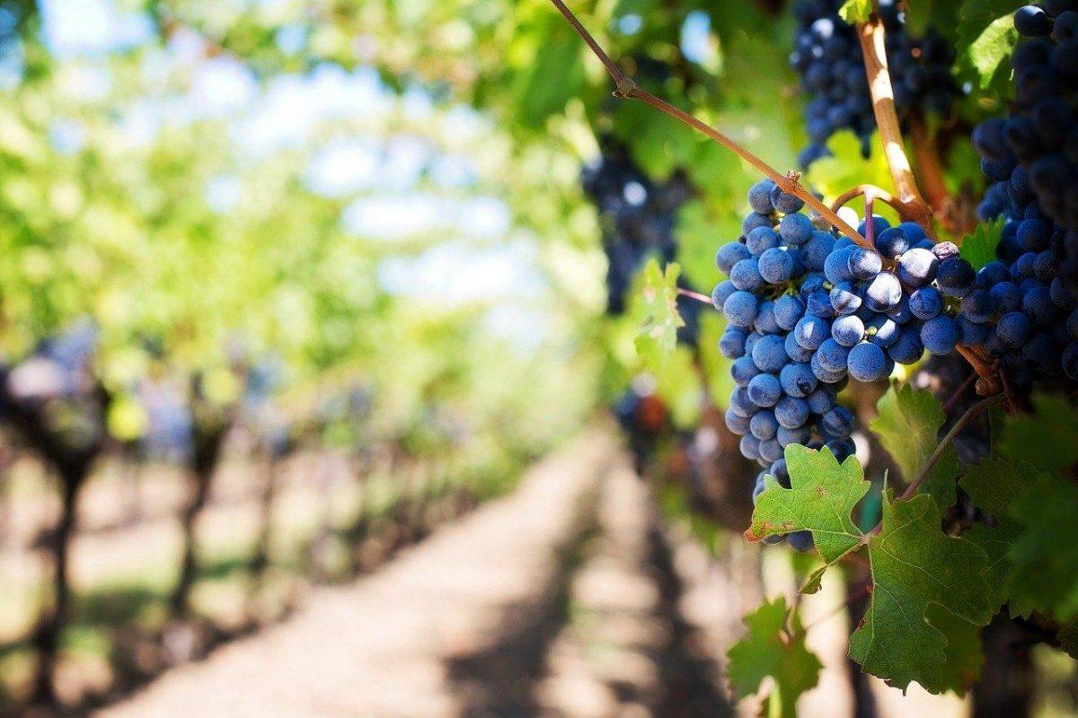 een tros paarse druiven in een grote wijngaard