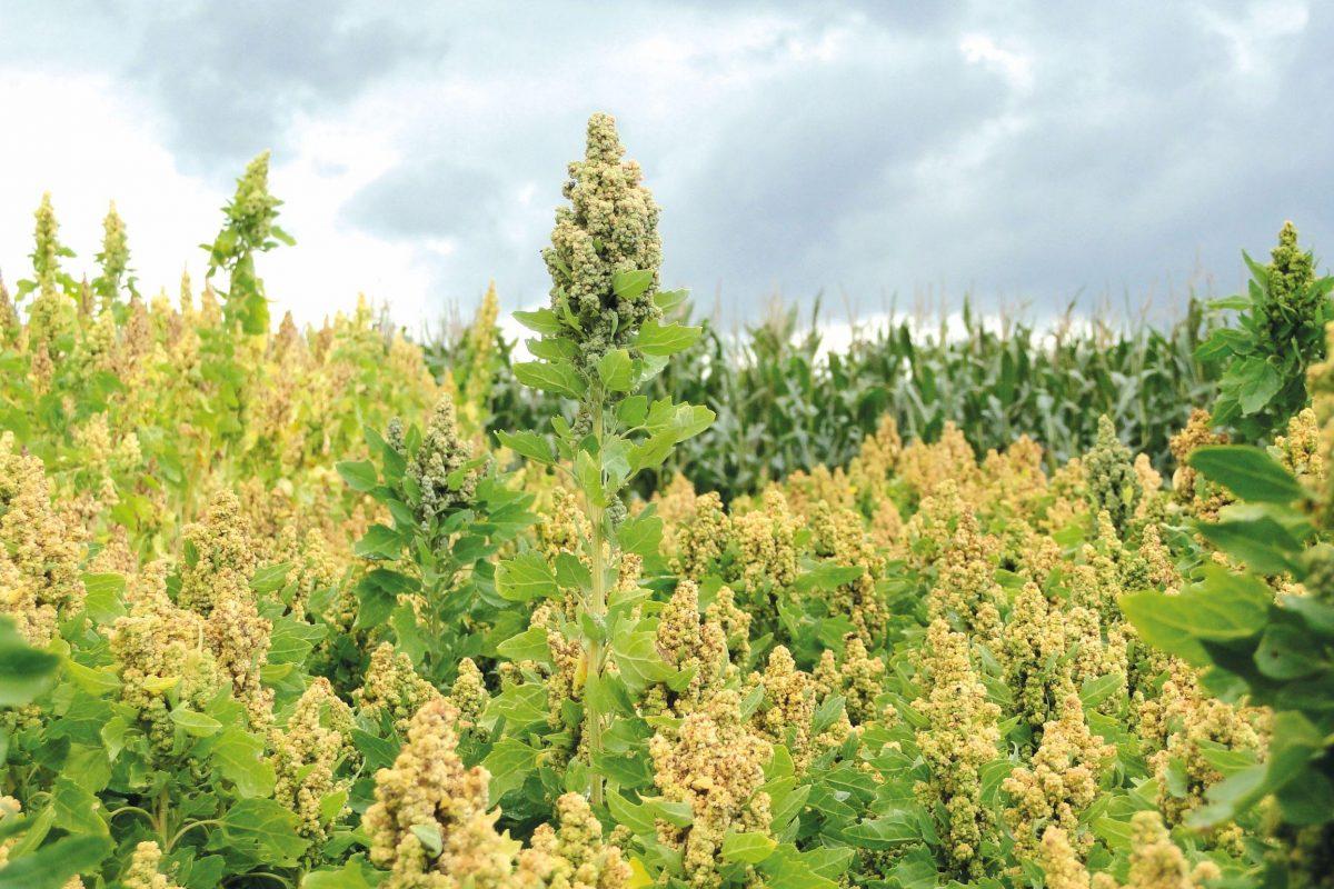 Quinoa in the field