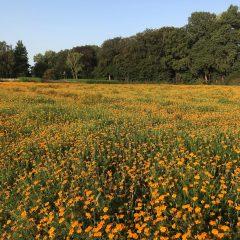 A field of orange marigolds