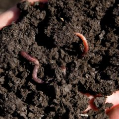 soil in a hand with earth worms in it