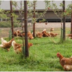 Kippen op een grasland met enkele bomen