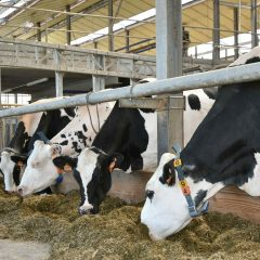 Dairy cattle eating roughage in a barn