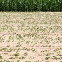 Jonge maïsplantjes