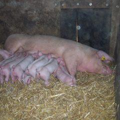 pigs free narrowing