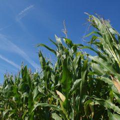maïs op een akker