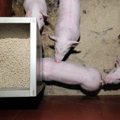 Weaner pigs spilling feed from a feeder