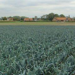 Field of leeks