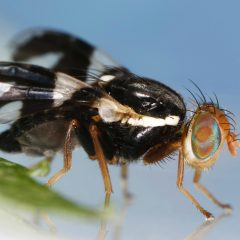 Fly - Rhagoletis pomonella Joseph Berger, Bugwood.org - https://www.insectimages.org/browse/detail.cfm?imgnum=5402797