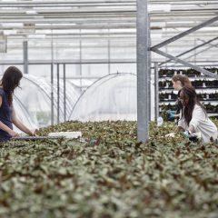 Drie medewerkers van een tuinbouwbedrijf sorteren kleine planten in de serre