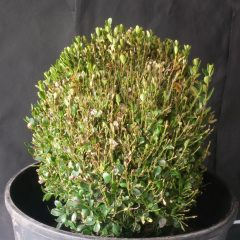 Damaged boxwood plant in a gray pot