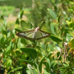 Moth with transparent wings with black edge on a boxwood plant